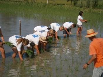 Voluntaris de SEO / Birdlife planten arròs a Riet Vell, Delta de l'Ebre